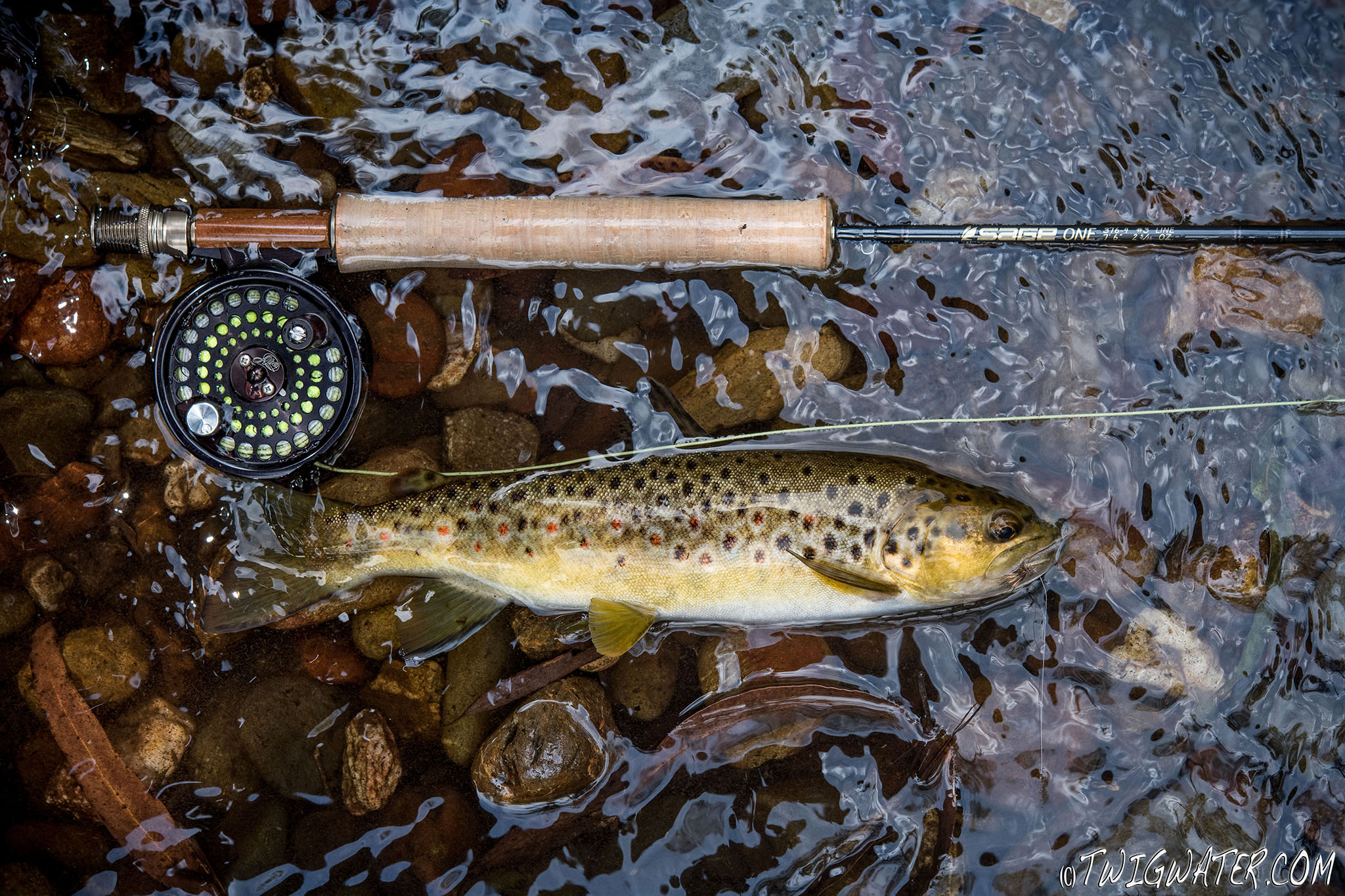Small stream brown trout caught on Sage One 3 weight